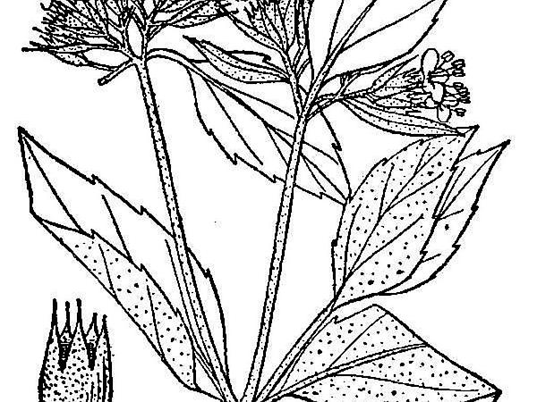 Hoary Mountainmint (Pycnanthemum Incanum) http://www.sagebud.com/hoary-mountainmint-pycnanthemum-incanum/