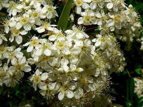 Formosa Firethorn (Pyracantha Koidzumii) http://www.sagebud.com/formosa-firethorn-pyracantha-koidzumii/