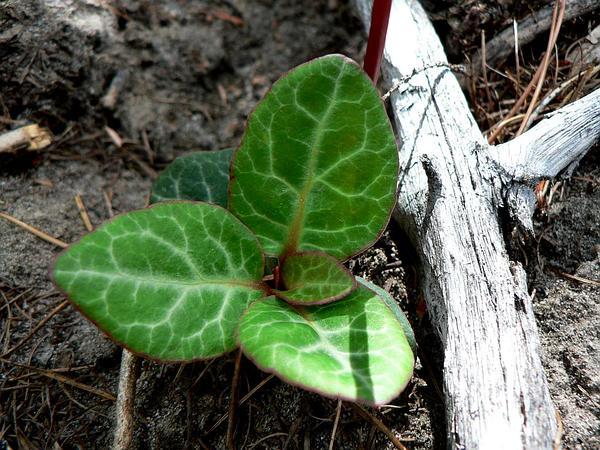 Whiteveined Wintergreen (Pyrola Picta) http://www.sagebud.com/whiteveined-wintergreen-pyrola-picta/