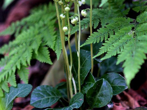 Wintergreen (Pyrola) http://www.sagebud.com/wintergreen-pyrola/