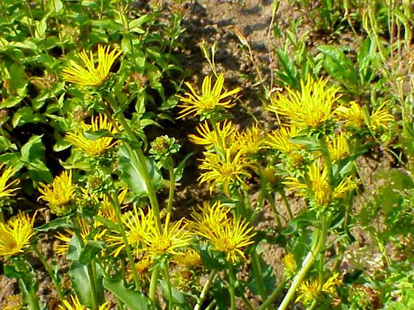 Goldenweed (Pyrrocoma) http://www.sagebud.com/goldenweed-pyrrocoma/