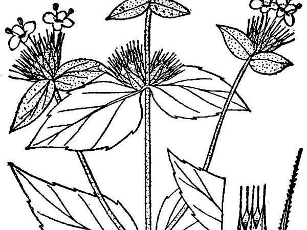 Awned Mountainmint (Pycnanthemum Setosum) http://www.sagebud.com/awned-mountainmint-pycnanthemum-setosum