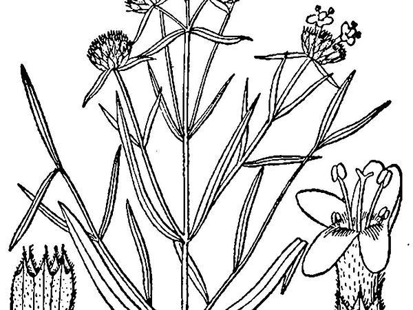 Narrowleaf Mountainmint (Pycnanthemum Tenuifolium) http://www.sagebud.com/narrowleaf-mountainmint-pycnanthemum-tenuifolium