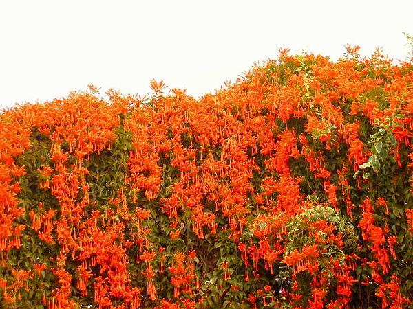 Flamevine (Pyrostegia Venusta) http://www.sagebud.com/flamevine-pyrostegia-venusta/