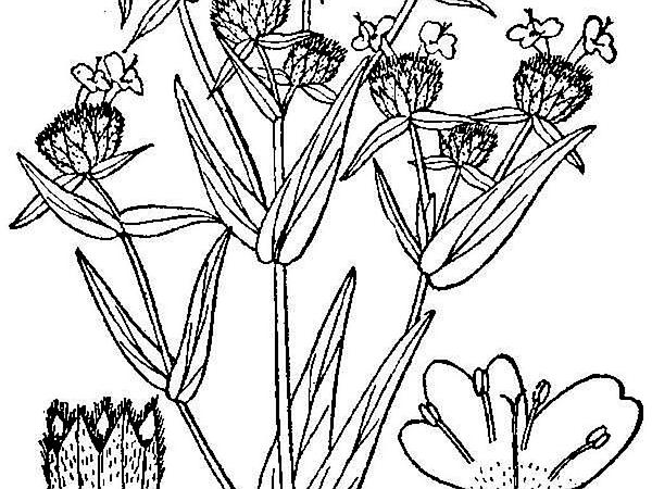 Virginia Mountainmint (Pycnanthemum Virginianum) http://www.sagebud.com/virginia-mountainmint-pycnanthemum-virginianum/
