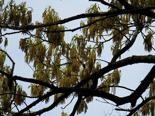 Sawtooth Oak (Quercus Acutissima) http://www.sagebud.com/sawtooth-oak-quercus-acutissima