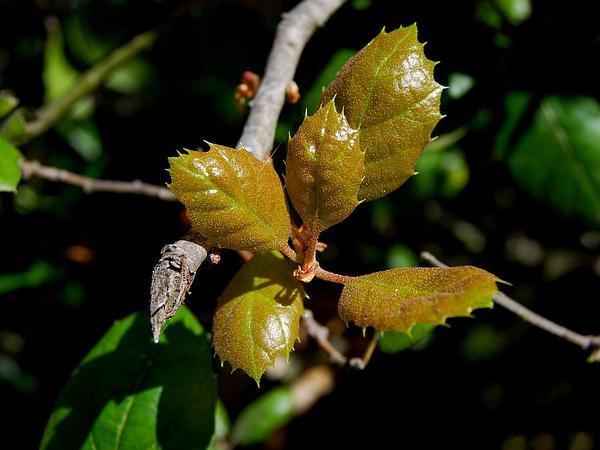 California Live Oak (Quercus Agrifolia) http://www.sagebud.com/california-live-oak-quercus-agrifolia