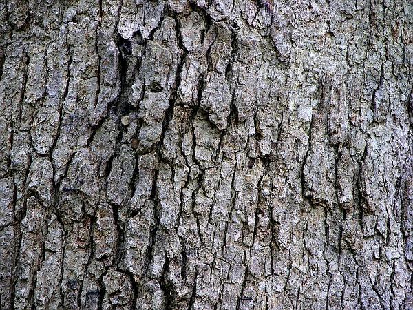 White Oak (Quercus Alba) http://www.sagebud.com/white-oak-quercus-alba