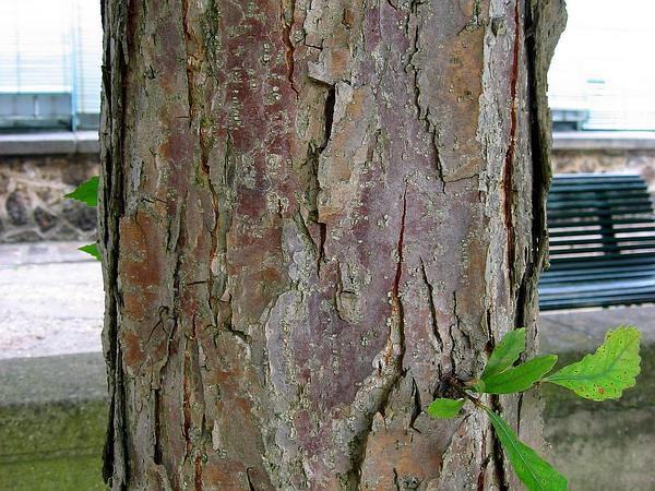Swamp White Oak (Quercus Bicolor) http://www.sagebud.com/swamp-white-oak-quercus-bicolor