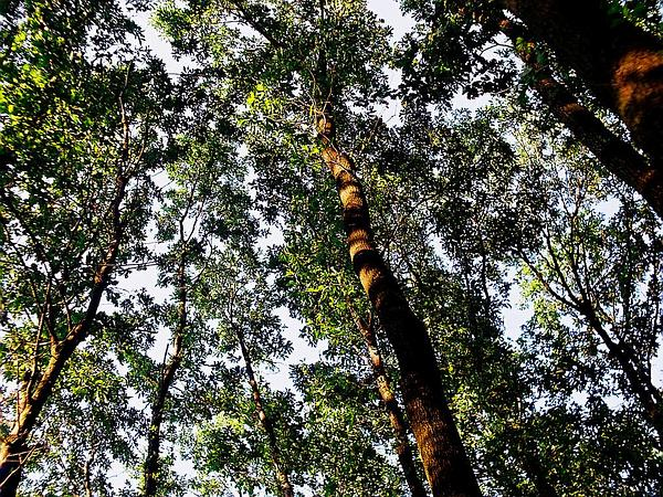 European Turkey Oak (Quercus Cerris) http://www.sagebud.com/european-turkey-oak-quercus-cerris