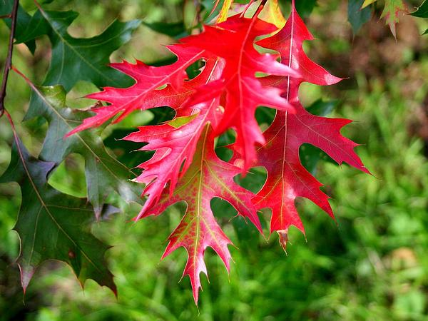 Scarlet Oak (Quercus Coccinea) http://www.sagebud.com/scarlet-oak-quercus-coccinea