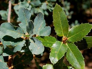 QUDO/Blue_and_Live_oak_leaf_clusters_300.jpg