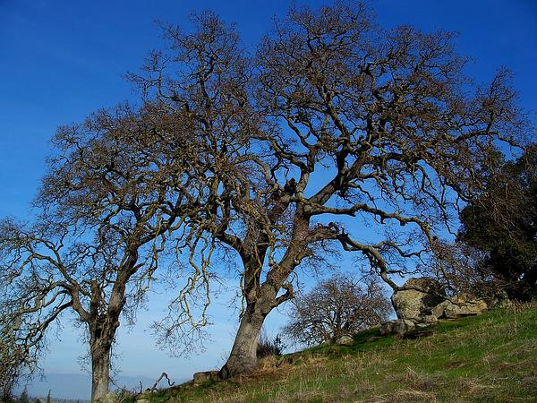 Blue Oak (Quercus Douglasii) http://www.sagebud.com/blue-oak-quercus-douglasii