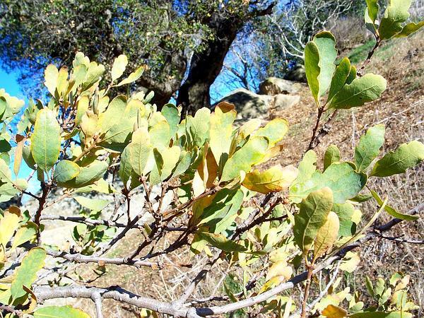 Blue Oak (Quercus Douglasii) http://www.sagebud.com/blue-oak-quercus-douglasii/