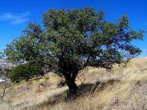 Emory Oak