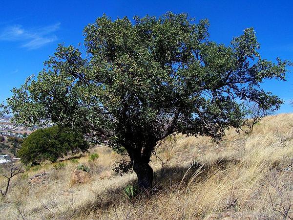 Emory Oak (Quercus Emoryi) http://www.sagebud.com/emory-oak-quercus-emoryi/