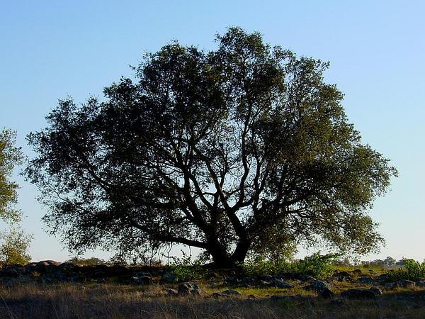 Engelmann Oak (Quercus Engelmannii) http://www.sagebud.com/engelmann-oak-quercus-engelmannii