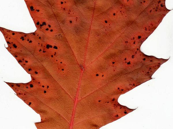 Oak (Quercus) http://www.sagebud.com/oak-quercus