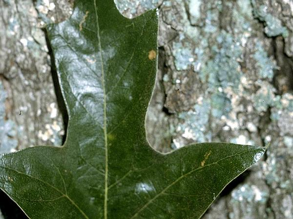 Southern Red Oak (Quercus Falcata) http://www.sagebud.com/southern-red-oak-quercus-falcata