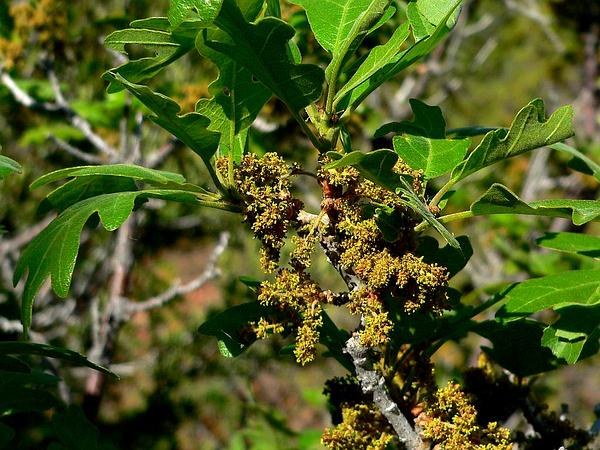 Gambel Oak (Quercus Gambelii) http://www.sagebud.com/gambel-oak-quercus-gambelii/