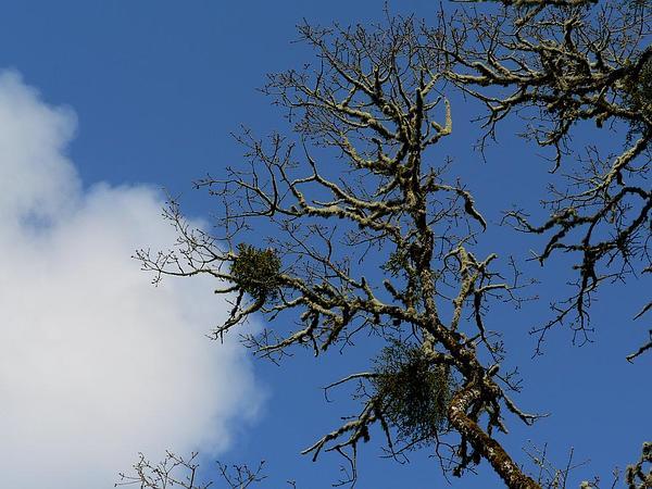 Oregon White Oak (Quercus Garryana) http://www.sagebud.com/oregon-white-oak-quercus-garryana