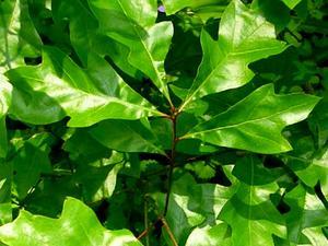 Georgia Oak
