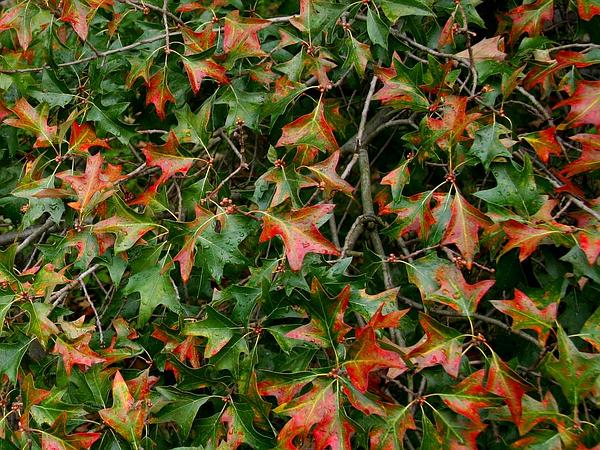 Bear Oak (Quercus Ilicifolia) http://www.sagebud.com/bear-oak-quercus-ilicifolia/