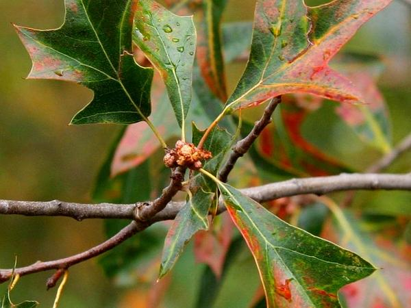 Bear Oak (Quercus Ilicifolia) http://www.sagebud.com/bear-oak-quercus-ilicifolia