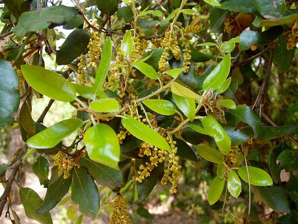 Holly Oak (Quercus Ilex) http://www.sagebud.com/holly-oak-quercus-ilex/