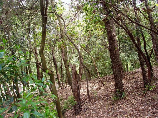 Holly Oak (Quercus Ilex) http://www.sagebud.com/holly-oak-quercus-ilex
