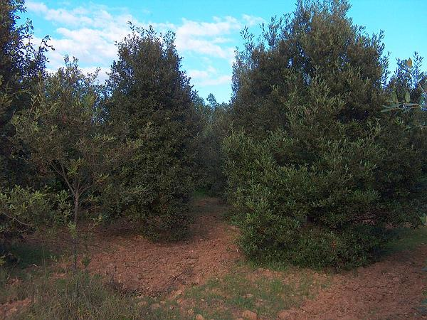 Holly Oak (Quercus Ilex) http://www.sagebud.com/holly-oak-quercus-ilex