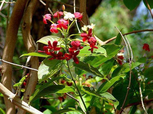 Rangoon Creeper (Quisqualis Indica) http://www.sagebud.com/rangoon-creeper-quisqualis-indica/