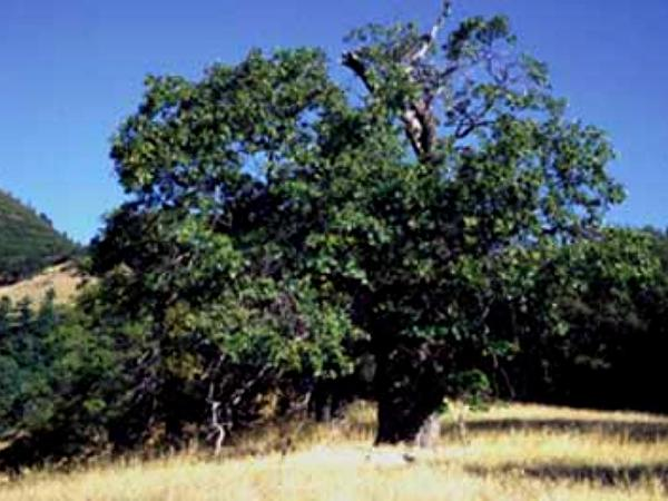 California Black Oak (Quercus Kelloggii) http://www.sagebud.com/california-black-oak-quercus-kelloggii/