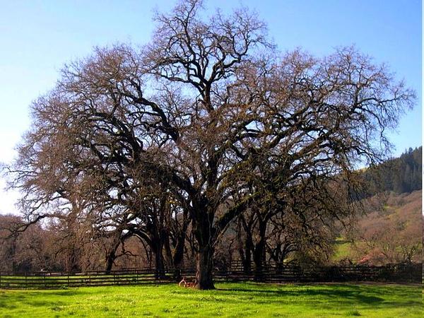 Valley Oak (Quercus Lobata) http://www.sagebud.com/valley-oak-quercus-lobata