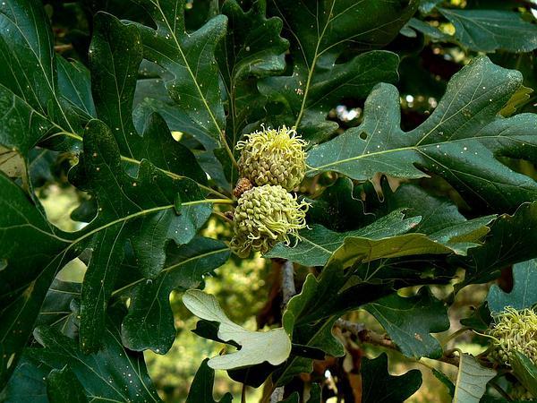 Bur Oak (Quercus Macrocarpa) http://www.sagebud.com/bur-oak-quercus-macrocarpa