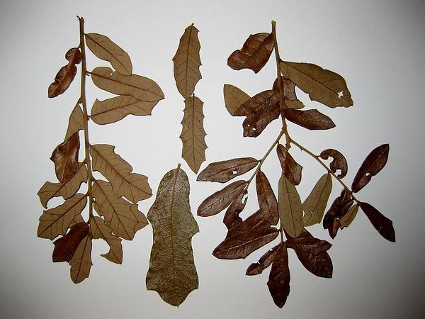 Dwarf Live Oak (Quercus Minima) http://www.sagebud.com/dwarf-live-oak-quercus-minima/