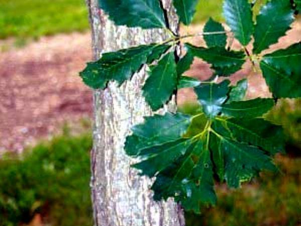 Chinkapin Oak (Quercus Muehlenbergii) http://www.sagebud.com/chinkapin-oak-quercus-muehlenbergii