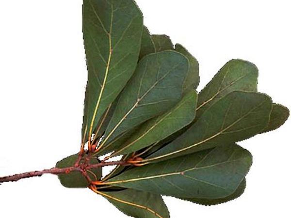Water Oak (Quercus Nigra) http://www.sagebud.com/water-oak-quercus-nigra