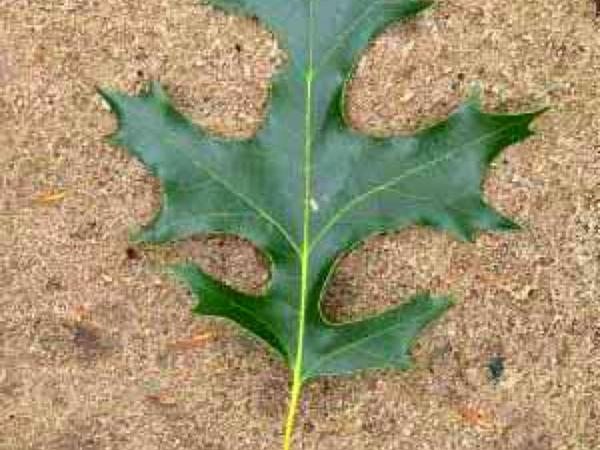 Pin Oak (Quercus Palustris) http://www.sagebud.com/pin-oak-quercus-palustris