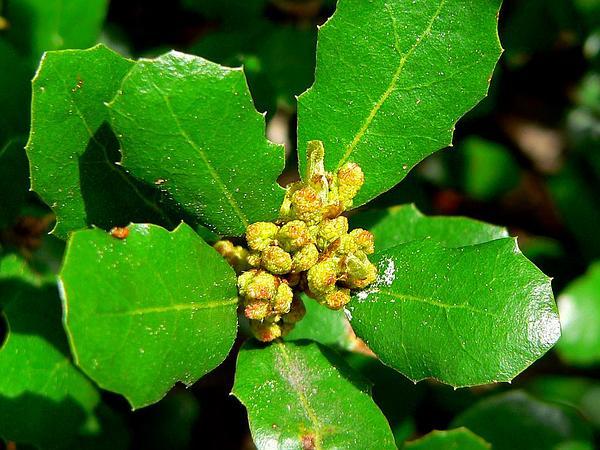 Channel Island Scrub Oak (Quercus Pacifica) http://www.sagebud.com/channel-island-scrub-oak-quercus-pacifica/