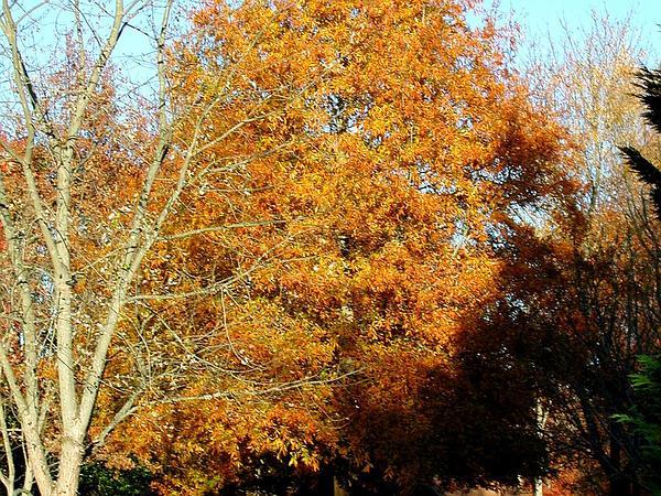 Willow Oak (Quercus Phellos) http://www.sagebud.com/willow-oak-quercus-phellos