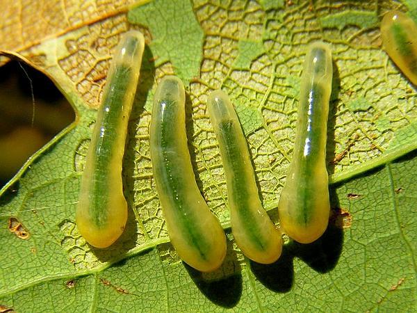 English Oak (Quercus Robur) http://www.sagebud.com/english-oak-quercus-robur
