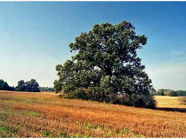 English Oak (Quercus Robur) http://www.sagebud.com/english-oak-quercus-robur/