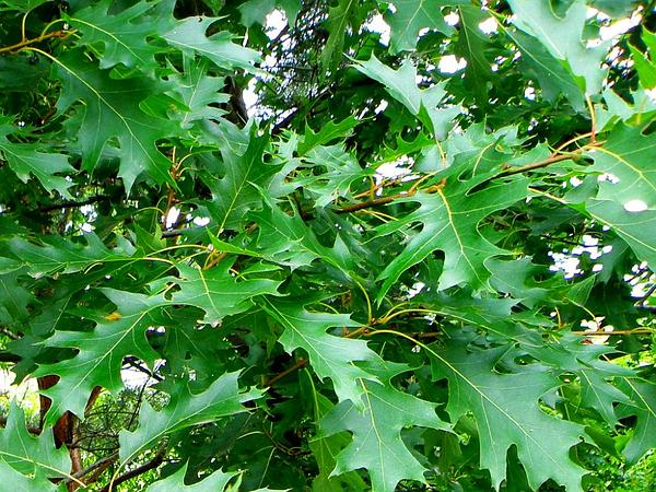 Northern Red Oak (Quercus Rubra) http://www.sagebud.com/northern-red-oak-quercus-rubra