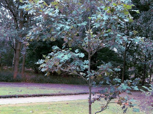 Shumard's Oak (Quercus Shumardii) http://www.sagebud.com/shumards-oak-quercus-shumardii