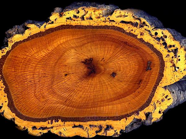 Cork Oak (Quercus Suber) http://www.sagebud.com/cork-oak-quercus-suber