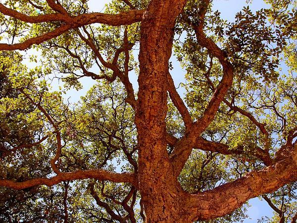 Cork Oak (Quercus Suber) http://www.sagebud.com/cork-oak-quercus-suber/