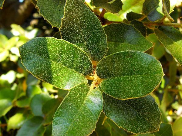 Island Live Oak (Quercus Tomentella) http://www.sagebud.com/island-live-oak-quercus-tomentella