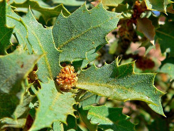 Sonoran Scrub Oak (Quercus Turbinella) http://www.sagebud.com/sonoran-scrub-oak-quercus-turbinella