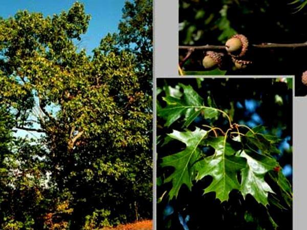 Black Oak (Quercus Velutina) http://www.sagebud.com/black-oak-quercus-velutina